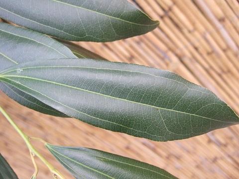 Cocculus laurifolius Dscf4719