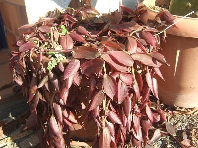 Tradescantia zebrina var. zebrina (= Tradescantia pendula) - Page 2 Dscf4810