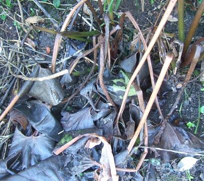 Farfugium japonicum (= Ligularia kaempferi) - Page 3 Dscf4841