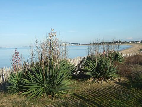 Yucca gloriosa Dscf4913