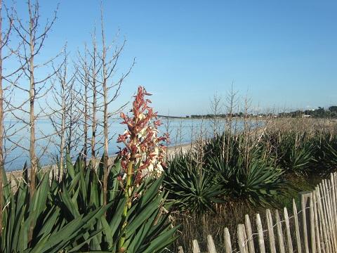 Yucca gloriosa Dscf4914