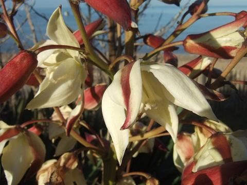 Yucca gloriosa Dscf4915