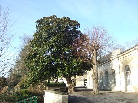 Magnolia grandiflora Dscf4921