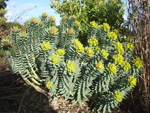 Euphorbia rigida - euphorbe rigide - Page 2 Dscf4929