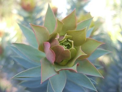 Euphorbia rigida - euphorbe rigide - Page 2 Dscf4930