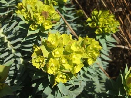 Euphorbia rigida - euphorbe rigide - Page 2 Dscf4931