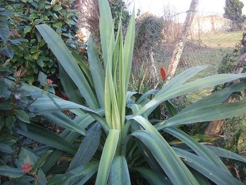 Beschorneria yuccoides Dscf5012
