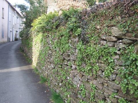 flore des vieux murs, rochers  et rocailles naturelles - Page 6 Dscf5027