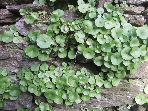 flore des vieux murs, rochers  et rocailles naturelles - Page 6 Dscf5028