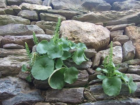 flore des vieux murs, rochers  et rocailles naturelles - Page 6 Dscf5029