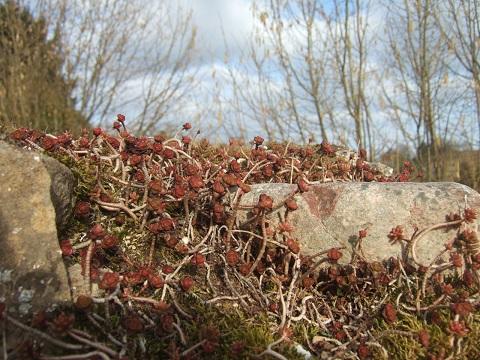 flore des vieux murs, rochers  et rocailles naturelles - Page 6 Dscf5030