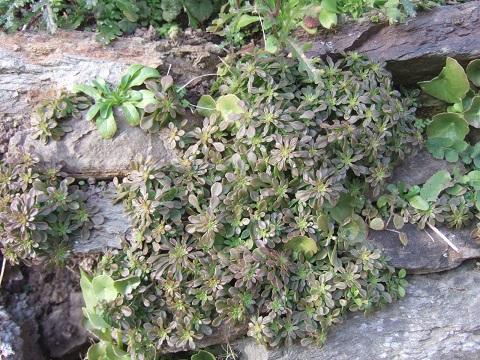 flore des vieux murs, rochers  et rocailles naturelles - Page 6 Dscf5031