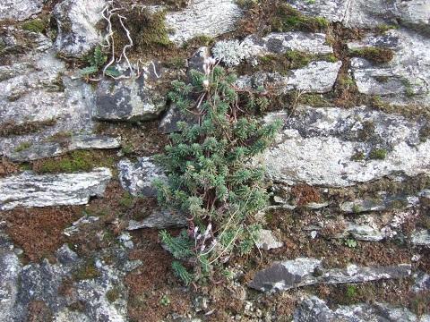 flore des vieux murs, rochers  et rocailles naturelles - Page 6 Dscf5032