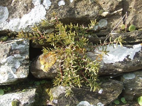 flore des vieux murs, rochers  et rocailles naturelles - Page 6 Dscf5033