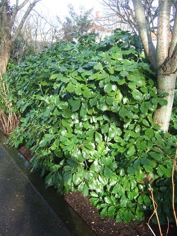 Aucuba japonica - aucuba du Japon Dscf5116
