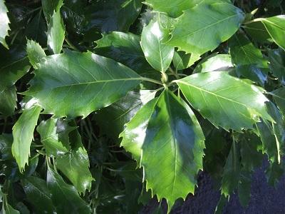 Aucuba japonica - aucuba du Japon Dscf5117