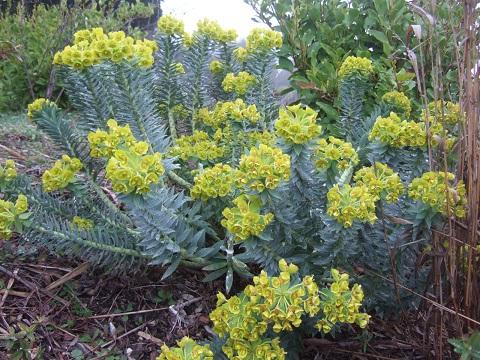 Euphorbia rigida - euphorbe rigide - Page 2 Dscf5147
