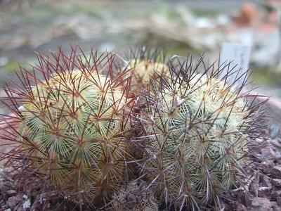 Mammillaria microhelia Dscf5212