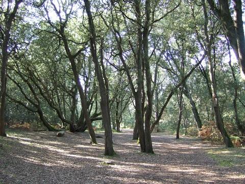 Quercus ilex - chêne vert - Page 2 Dscf6510