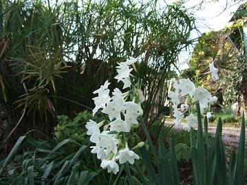 Narcissus tazetta et hybrides horticoles Dscf7210