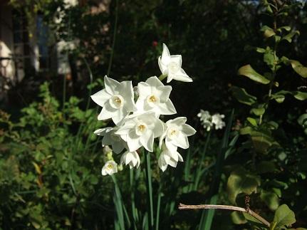 Narcissus tazetta et hybrides horticoles Dscf7211