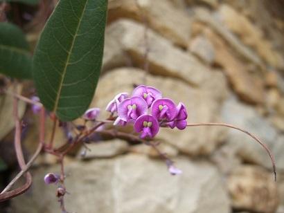 Hardenbergia violacea Dscf7812