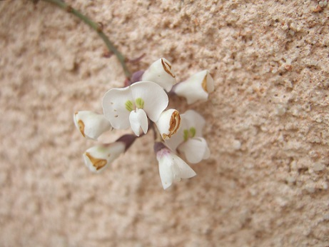 Hardenbergia violacea Dscf7813