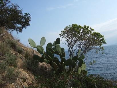 Opuntia ficus-indica  Dscf7912