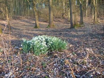 Galanthus nivalis - perce-neige Dscf9214