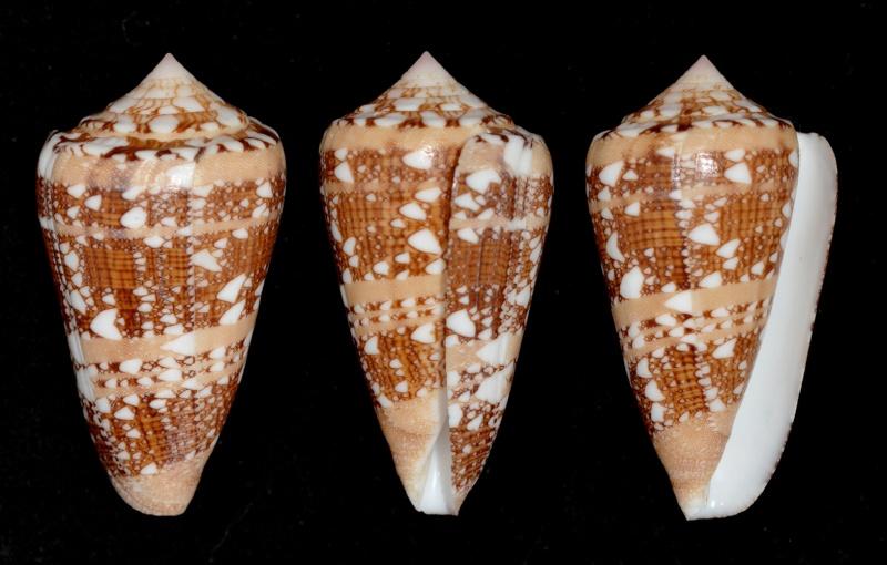 Conus (Cylinder) ammiralis  Linnaeus, 1758 - Page 3 Ammira10
