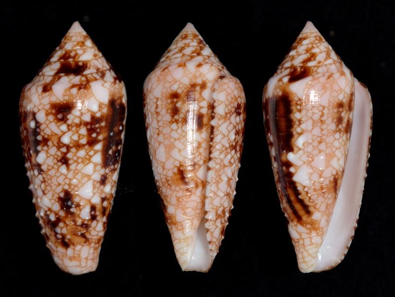 Conus (Cylinder) legatus   Lamarck, 1810 - Page 2 Legatu10