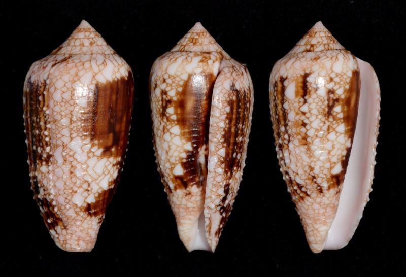 Conus (Cylinder) legatus   Lamarck, 1810 - Page 2 Legatu11