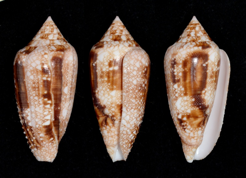 Conus (Cylinder) legatus   Lamarck, 1810 - Page 2 Legatu13