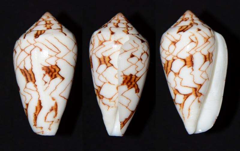 Conus (Cylinder) archiepiscopus verriculum   Reeve, 1843 - Page 4 Textil10
