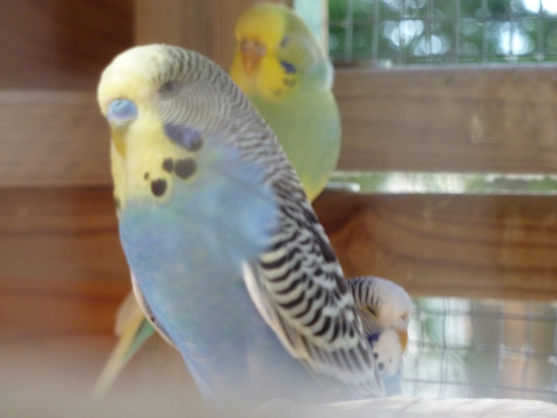Mon mâle bleu masque jaune P1110210