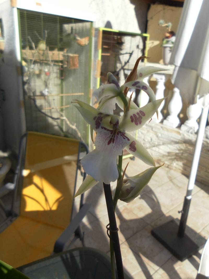 les orchidées de syljou Sam_7714