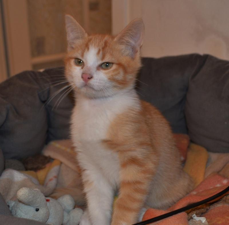 JARED, chaton roux et blanc, né le 27/10/14 Dsc_0017