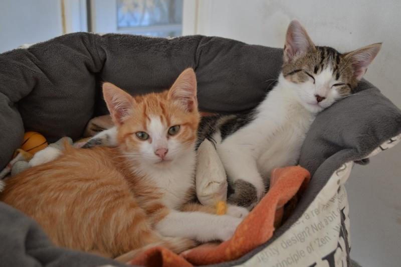 JARED, chaton roux et blanc, né le 27/10/14 Dsc_0022