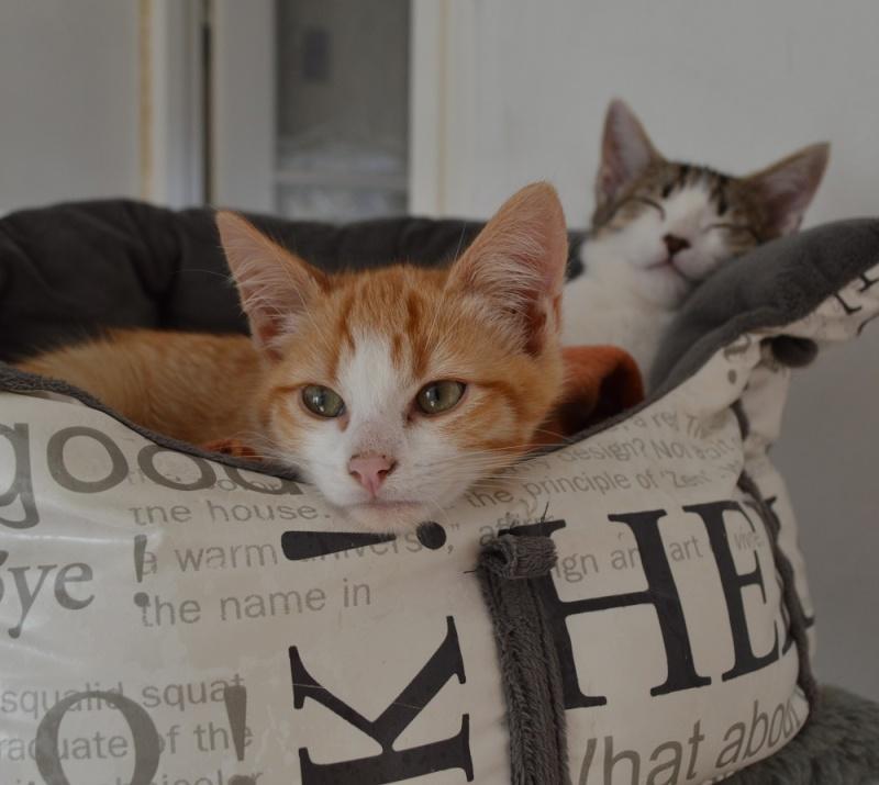 JARED, chaton roux et blanc, né le 27/10/14 Dsc_0023
