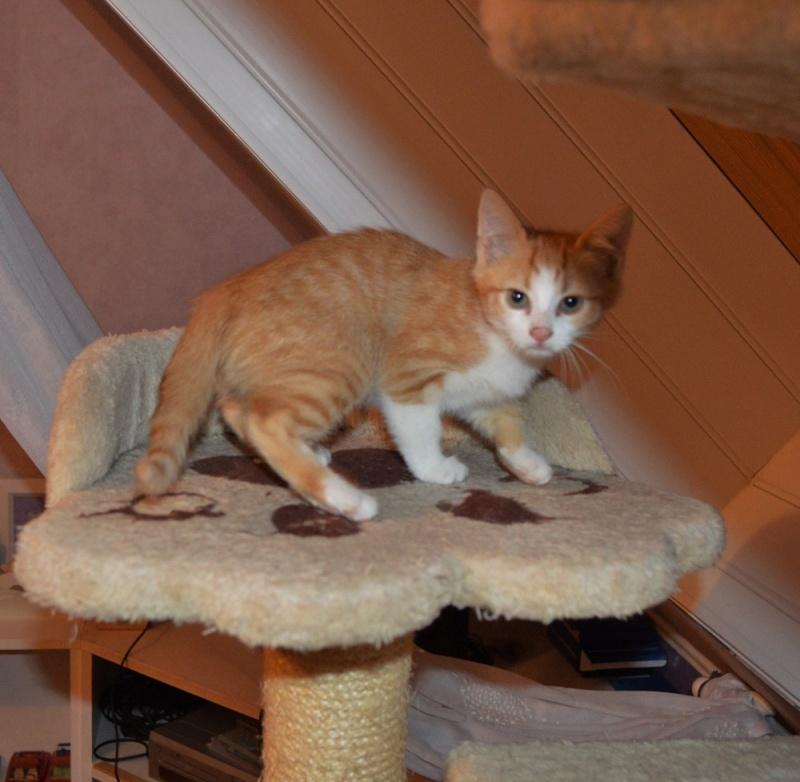 JARED, chaton roux et blanc, né le 27/10/14 Petit_13