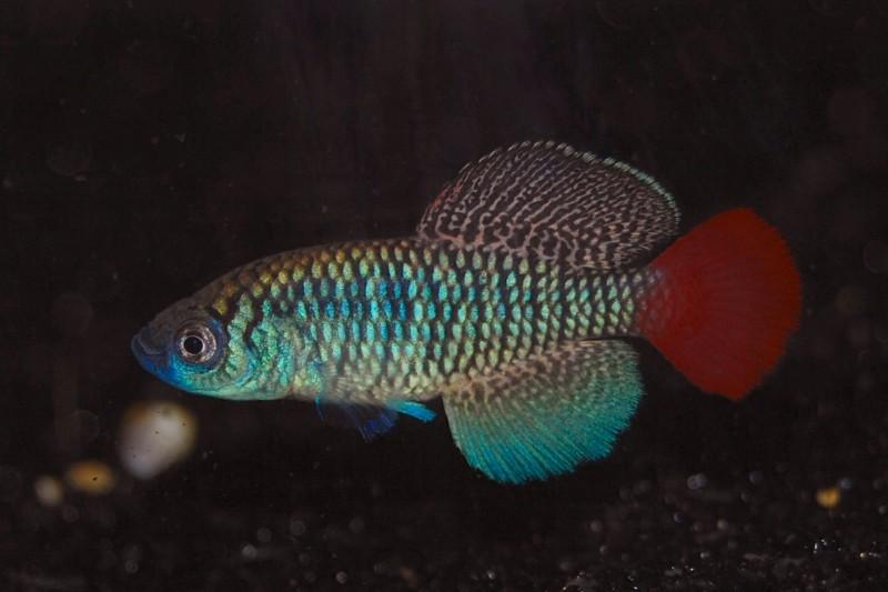 Petites nouvelles de ma fish room... - Page 3 Fn_pat10