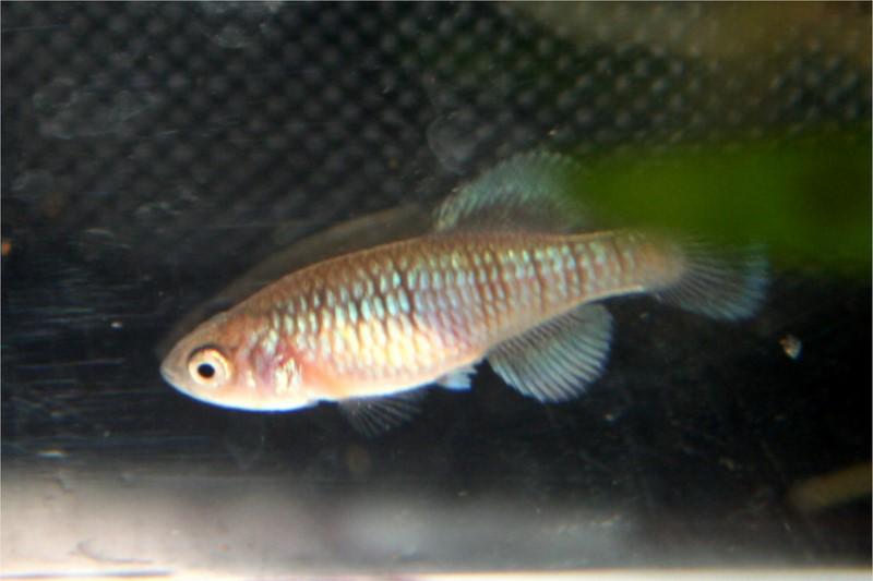 Petites nouvelles de ma fish room... - Page 3 Notho_11