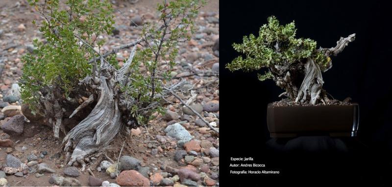 desert plants from mendoza Argentina Jarill10