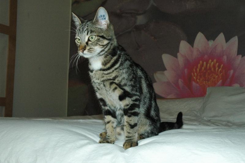Chat tigré à Aussonne Dsc_0010