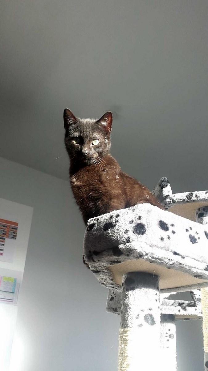 joliot - JOLIOT, chaton européen robe noire, né le 08/09/14 14232110