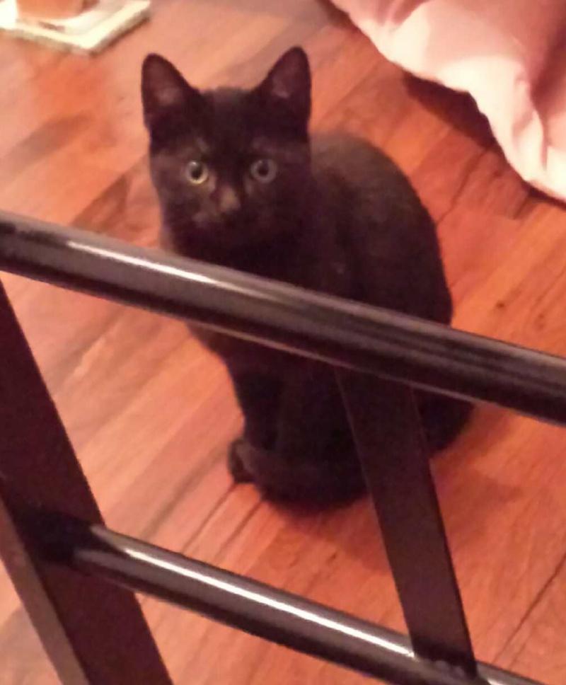 joliot - JOLIOT, chaton européen robe noire, né le 08/09/14 20150118