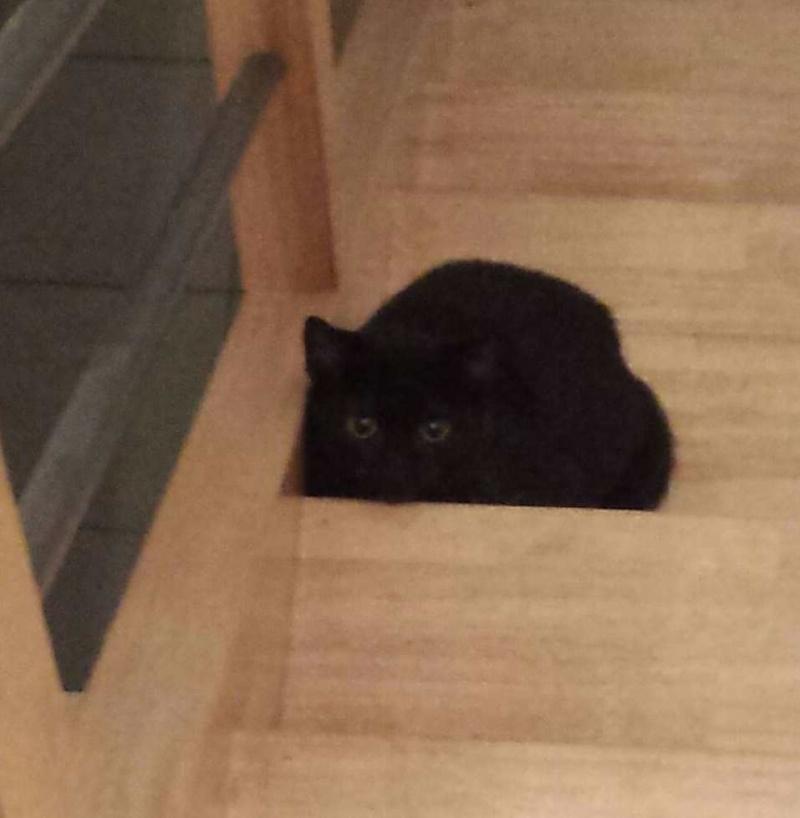 joliot - JOLIOT, chaton européen robe noire, né le 08/09/14 20150120