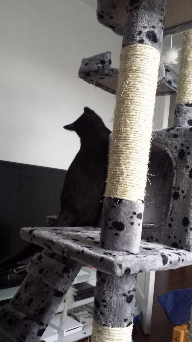 joliot - JOLIOT, chaton européen robe noire, né le 08/09/14 20150213