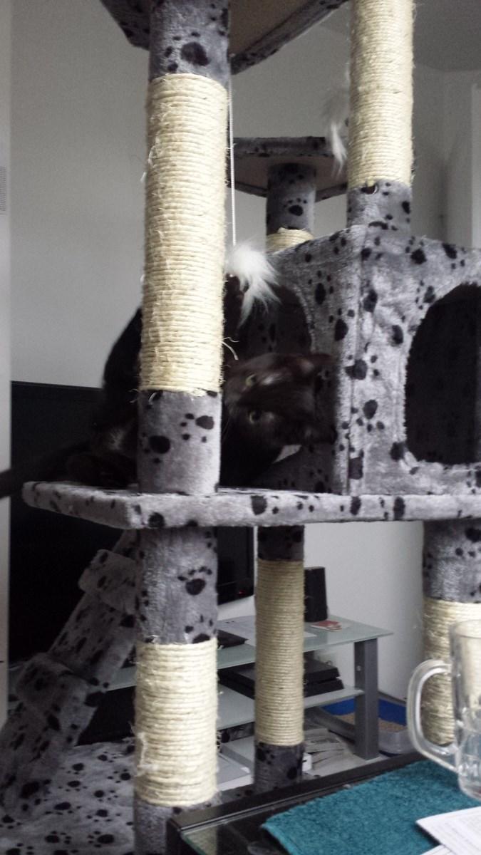 joliot - JOLIOT, chaton européen robe noire, né le 08/09/14 20150214