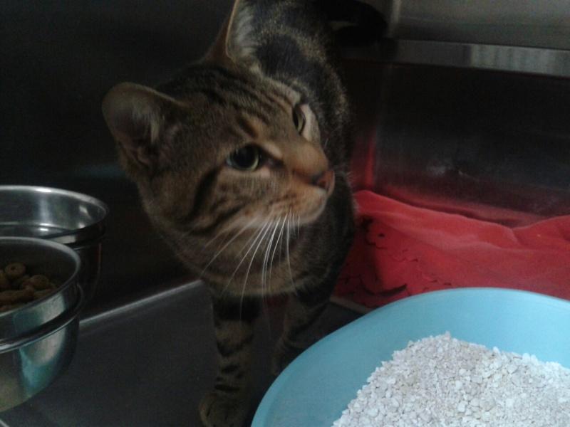 JEFF, chat européen tigré, né en 2014 20150216